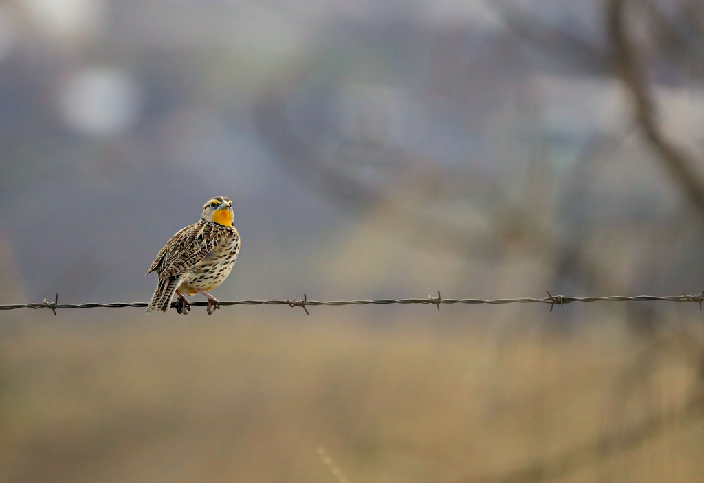 Singing Meadowlark by gq