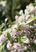 1st Apr 2021 - Do you flower, Daphne, in spring?