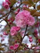 2nd Apr 2021 - Kwanzan cherry tree blossoms...
