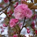 Kwanzan cherry tree blossoms... by marlboromaam