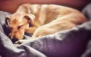 1st Apr 2021 - Sleeping Doggy