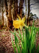 31st Mar 2021 - Daffodils in the Woods