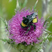 another bumble bee by dogwoman