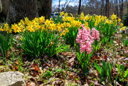 1st Apr 2021 - More Spring Flowers
