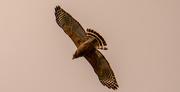 1st Apr 2021 - Red Shouldered Hawk Overhead!