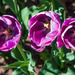 Three Purple Brother Tulips