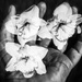 Daffodils in My Hand
