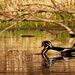 wood ducks under an arching branch