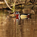 wood ducks closeup