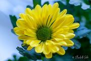 2nd Apr 2021 - Yellow Chrysanthemum