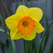 Daffodil by busylady