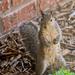 Ninja Squirrel by samae