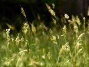 3rd Apr 2021 - Sweet vernal grass...