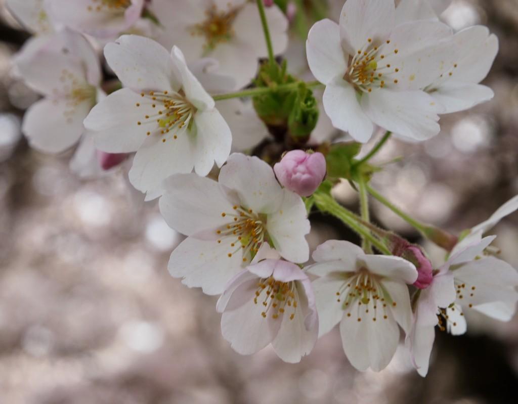 Sakura! by debgasc