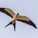 Another Swallowtail Kite!