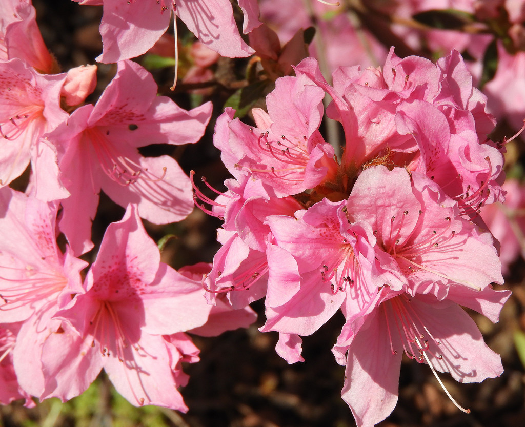 PINK azalea bush by homeschoolmom
