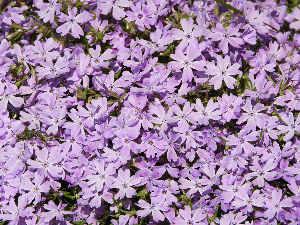 Purple phlox by homeschoolmom