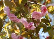 2nd Apr 2021 - Pretty crabapple in bloom
