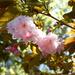 Spring crabapples