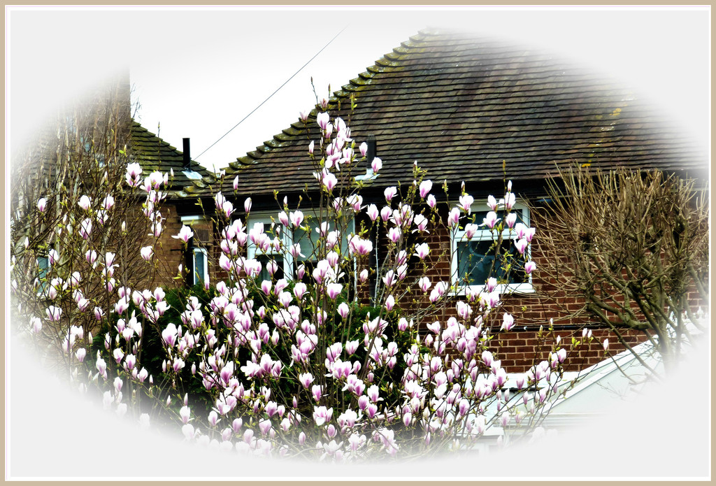 Magnolia  by beryl