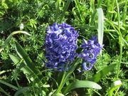 3rd Apr 2021 - Blue Hyacinths.