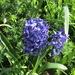 Blue Hyacinths.