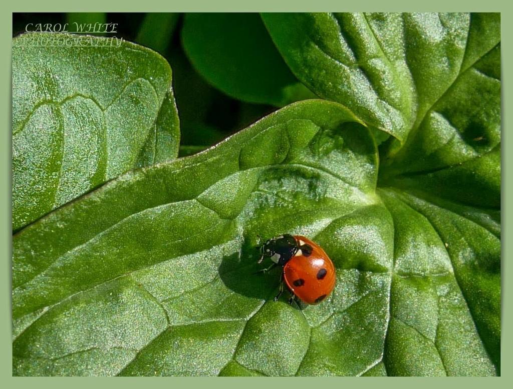 Ladybird by carolmw