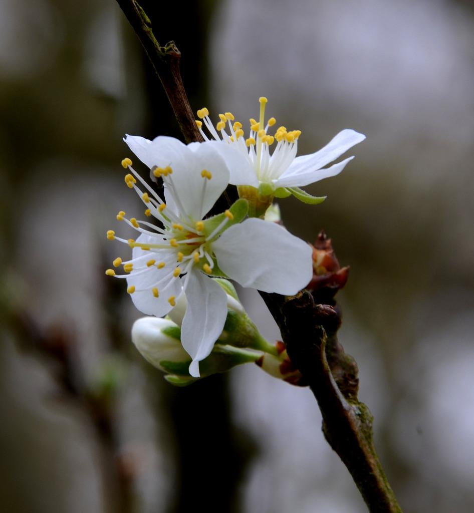 Plum Blossom by arkensiel