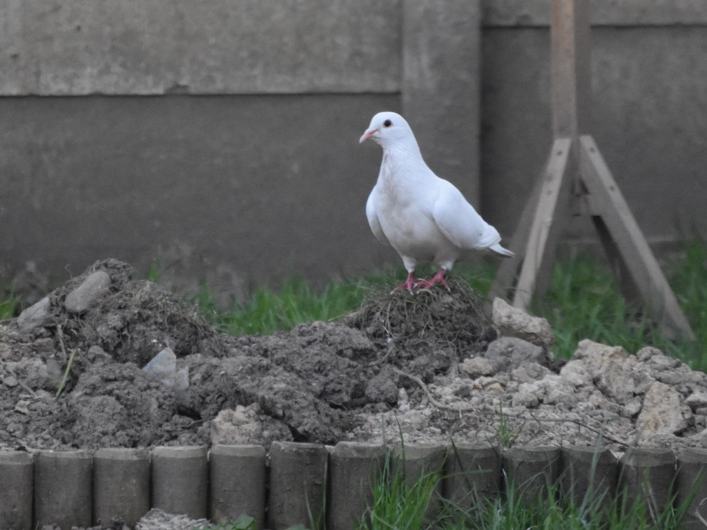 White Pigeon  by grizzlyadventures