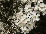 1st Apr 2021 - Beautiful Blackthorn