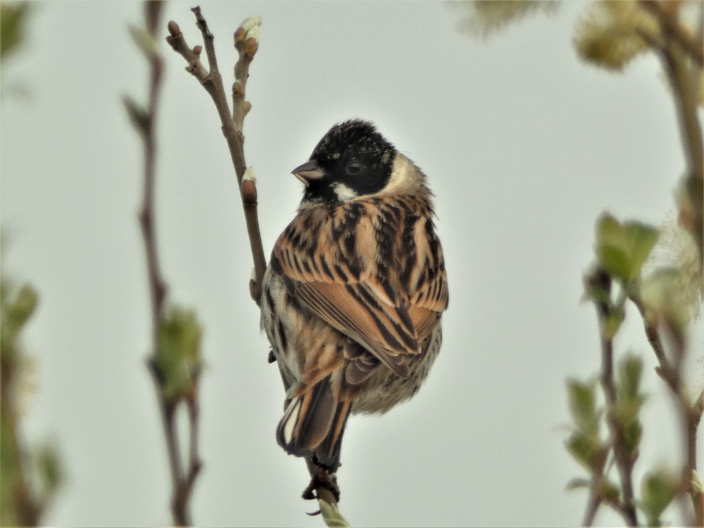 Male Reed Bunting by julienne1