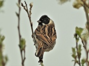 2nd Apr 2021 - Male Reed Bunting