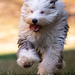 Agatha, the Old English Sheepdog