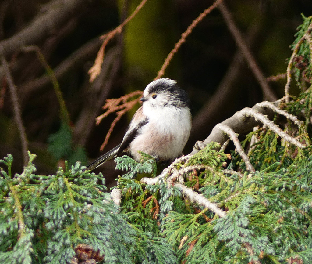 Long Tailed Tit by judithdeacon