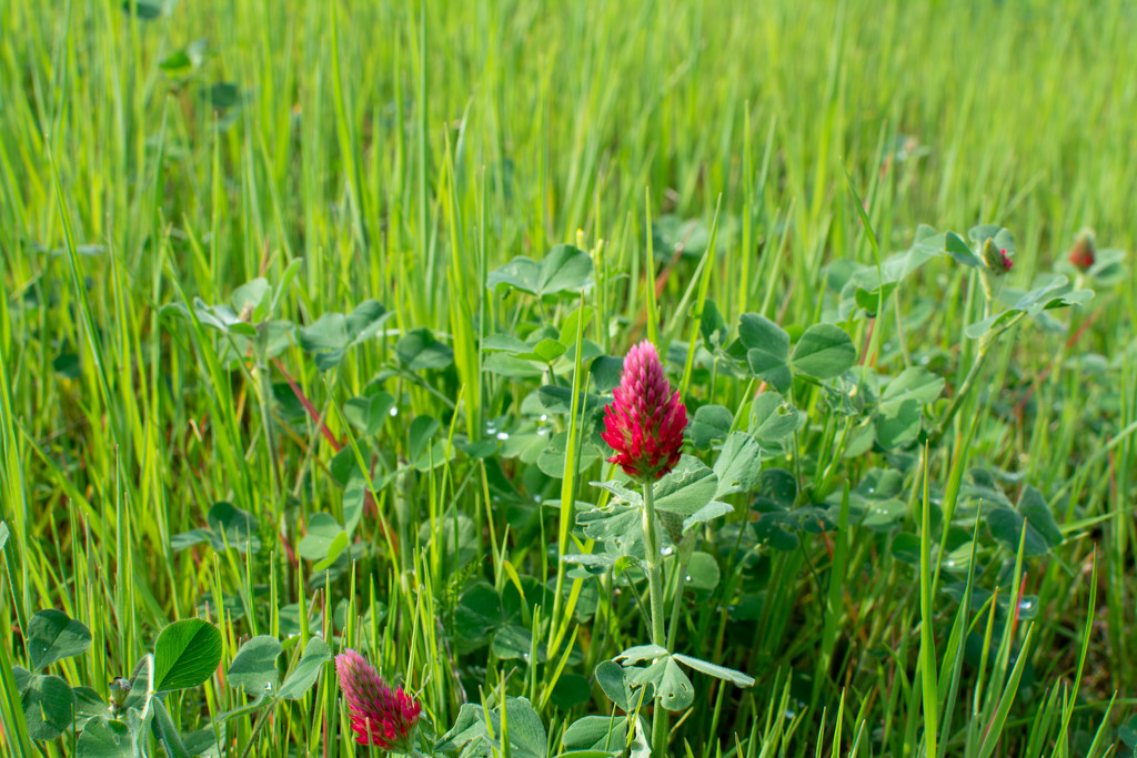 Crimson Clover... by thewatersphotos