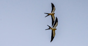3rd Apr 2021 - Swallowtails in Formation!