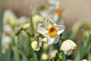 3rd Apr 2021 - Dancing Daffodils