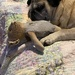 Annie the Pug with her baby