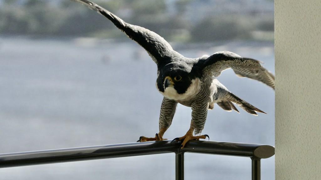Peregrine Falcon-Caloundra by hrs