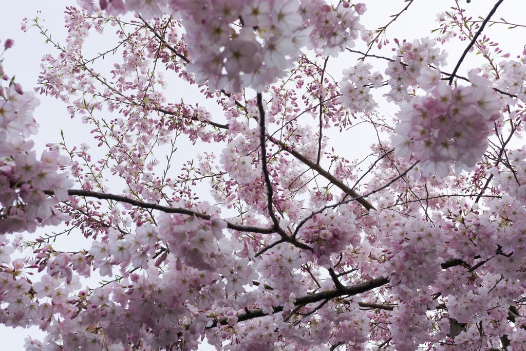 A cherry blossom haiku by cristinaledesma33