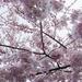 A cherry blossom haiku