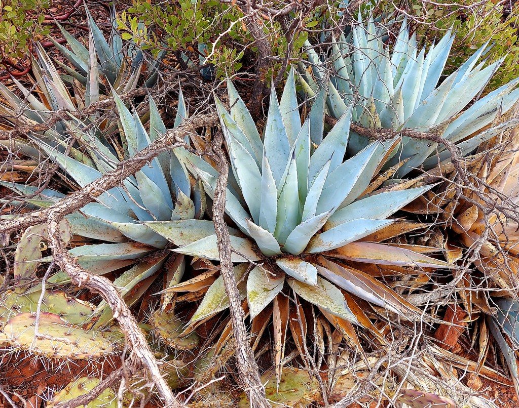 Agave by harbie