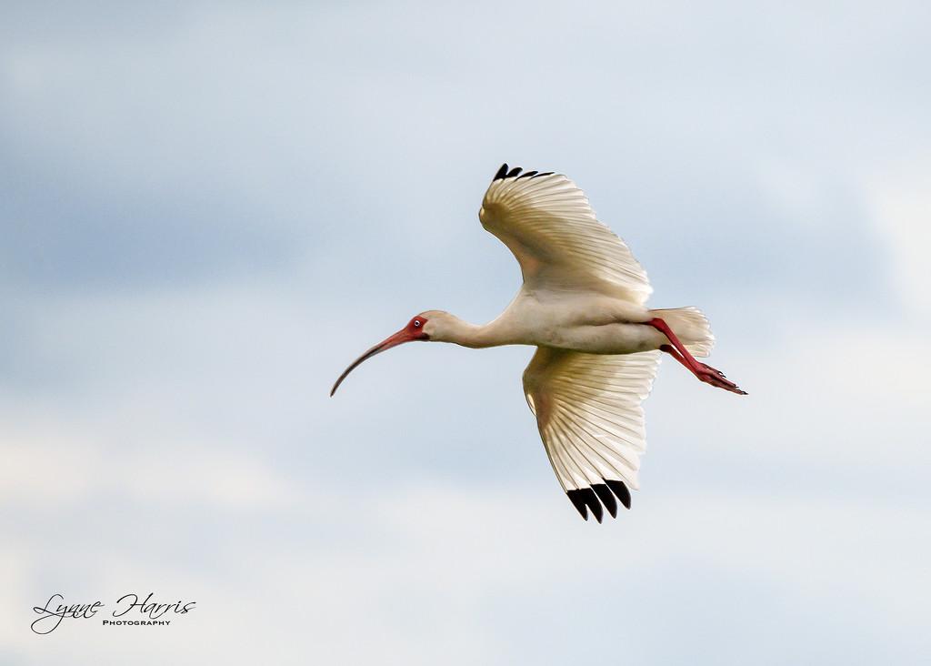 Ibis in Flight by lynne5477
