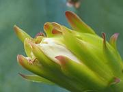 1st Feb 2021 -  Flower of large cactus
