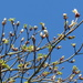 Blue sky and Spring buds.