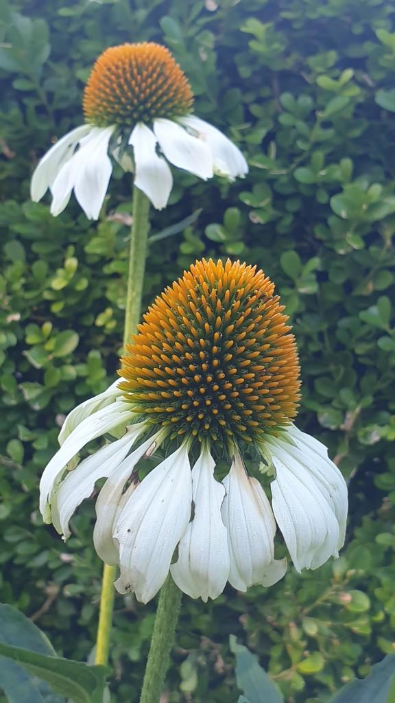 Cute white flower by julianneovie