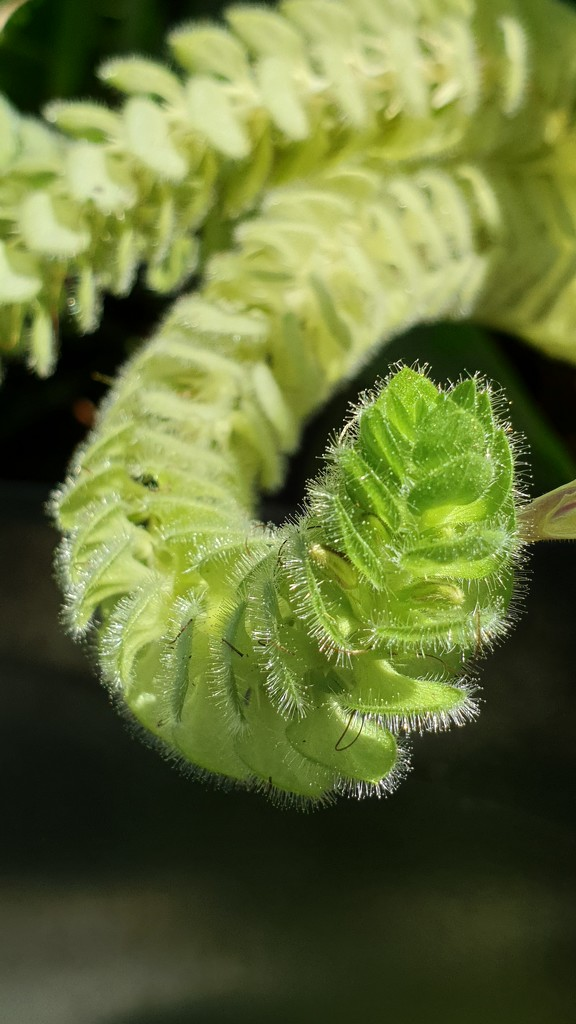 Hairy plant by julianneovie