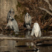 Egret with three henchmen