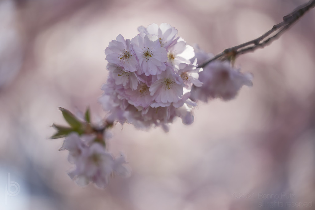 Cherry blossoms by bpfoto