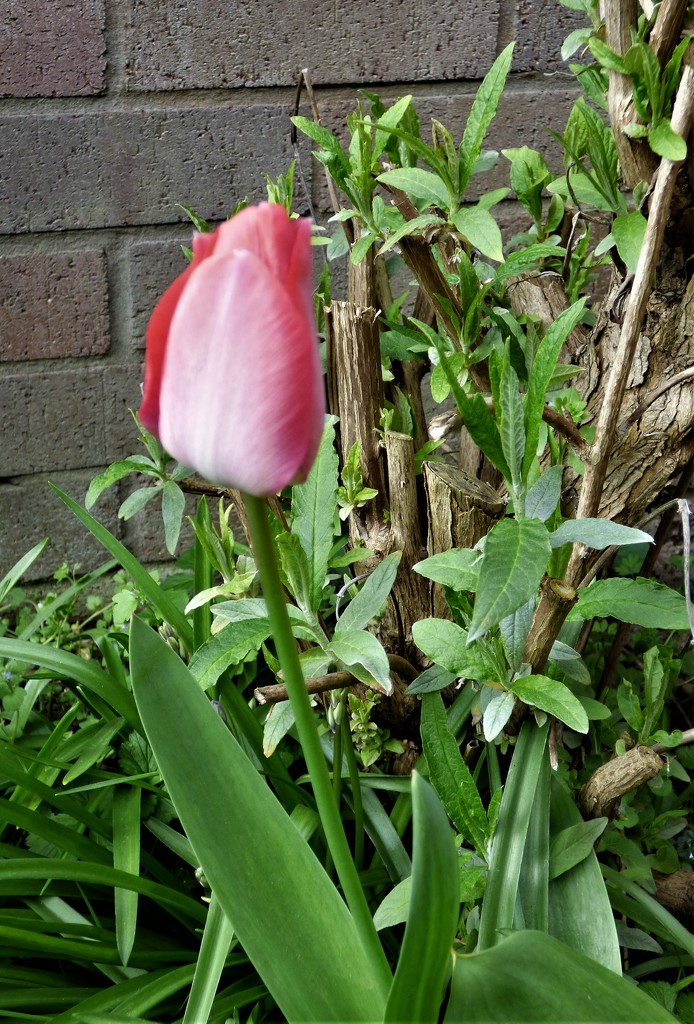 The 1st of my tall tulips . by beryl